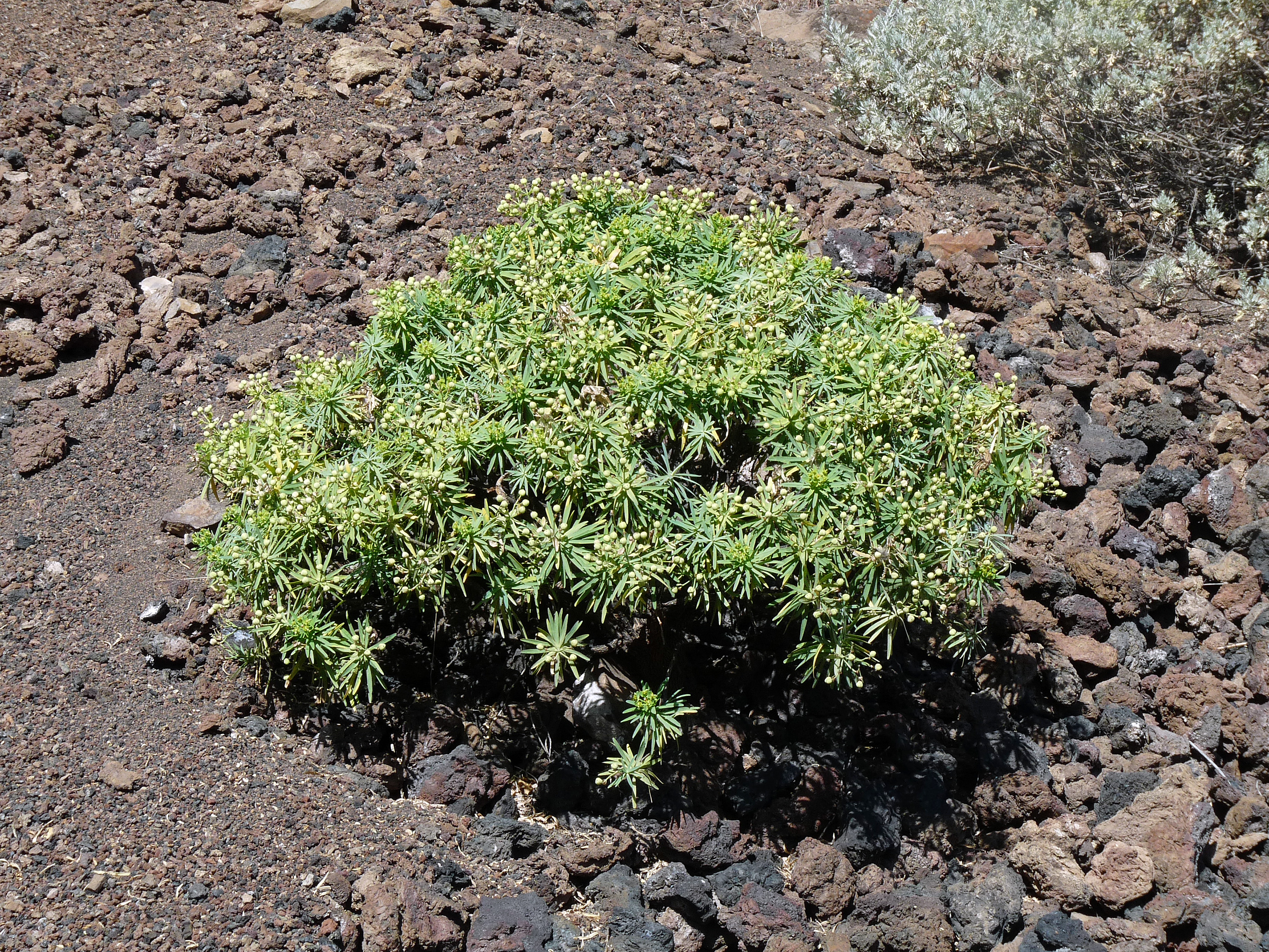 Euphorbia tuckeyana 01