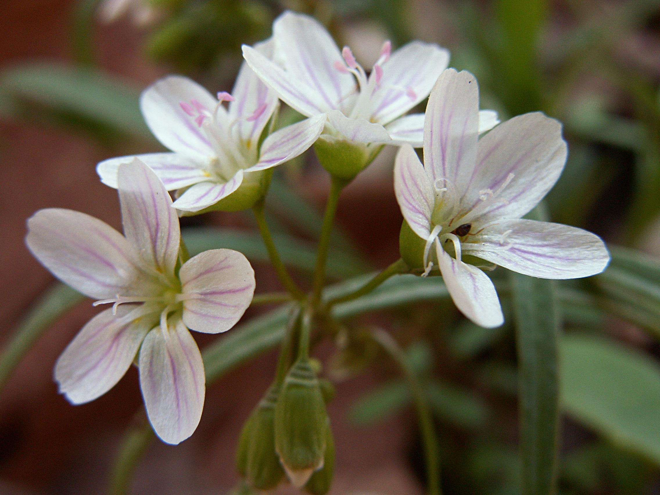 Portulacaceae | Flora Pittsburghensis