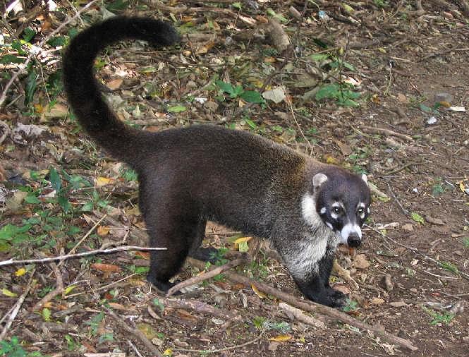 Q Significa Kangaroo Nasua - Wikipedia, la ...