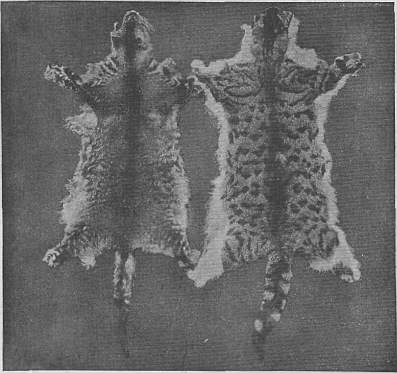 EB1911 Cat - Fig. 2.—SKINS OF THE STRIPED DOMESTIC CAT.jpg