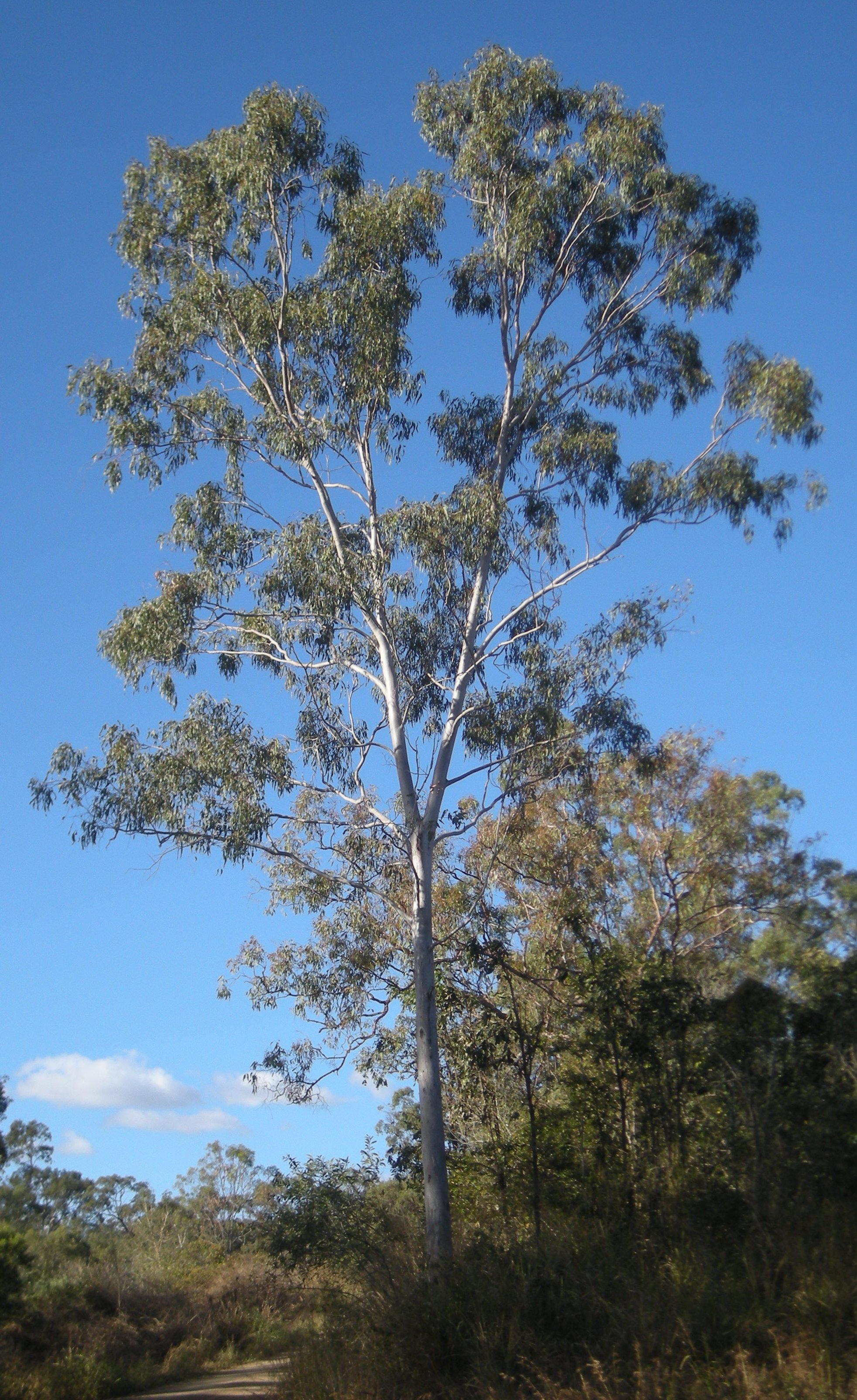 Planting Under Eucalyptus Trees : Description eucalyptus tereticornis tree g