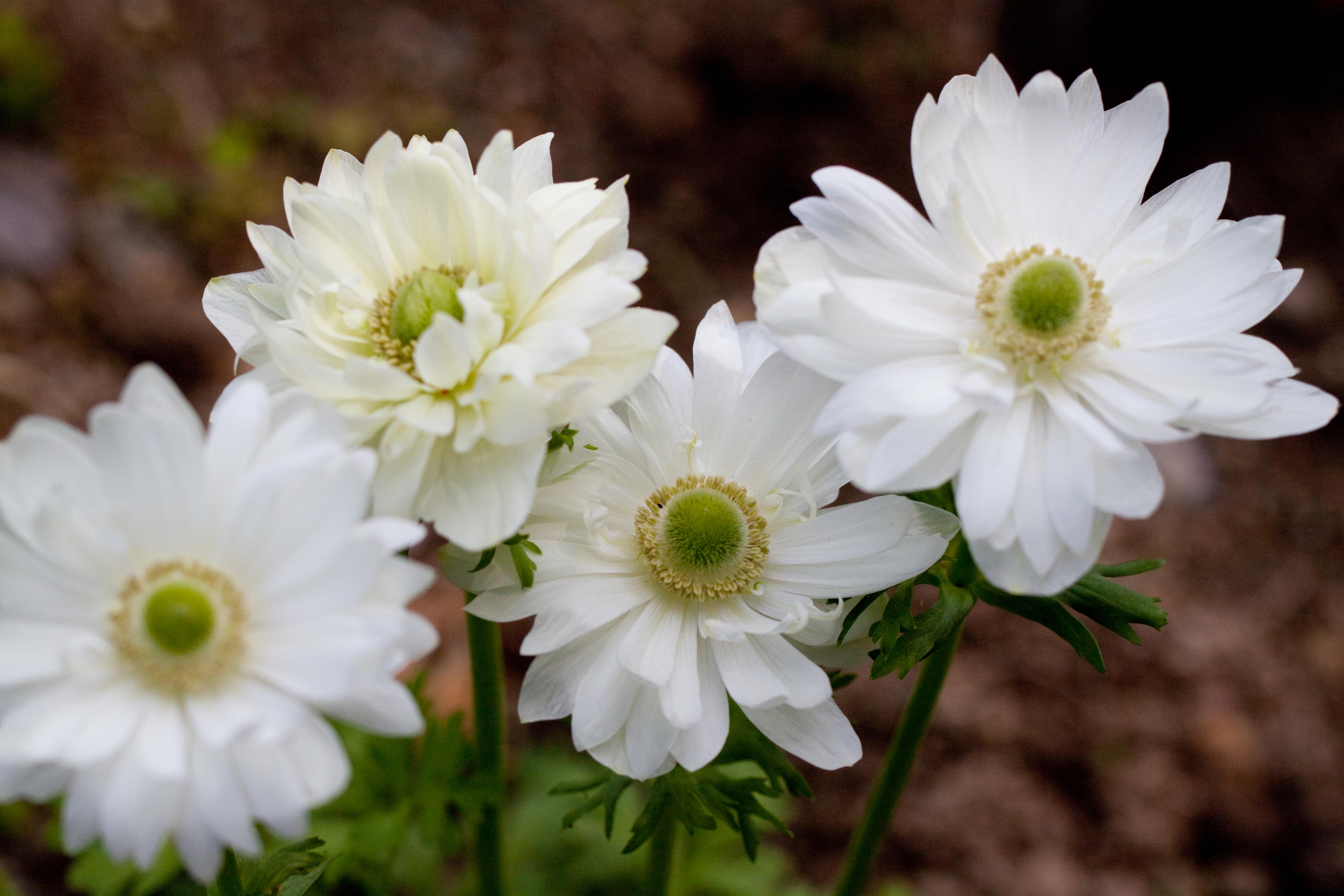 File Flower Anemone Flickr nekonomania Wikimedia mons