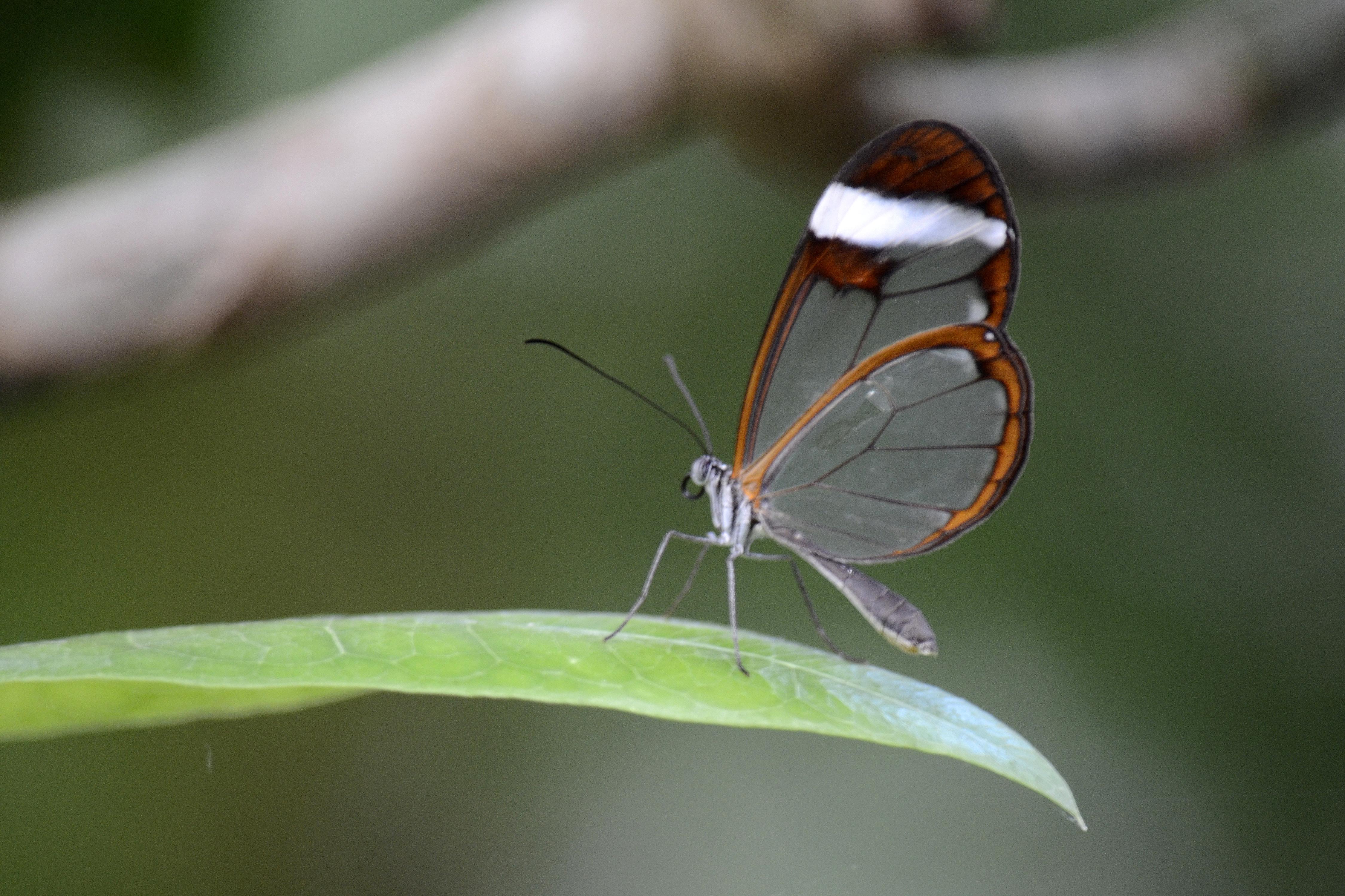 Fileglasswinged Butterfly 6727428235jpg Wikimedia Commons