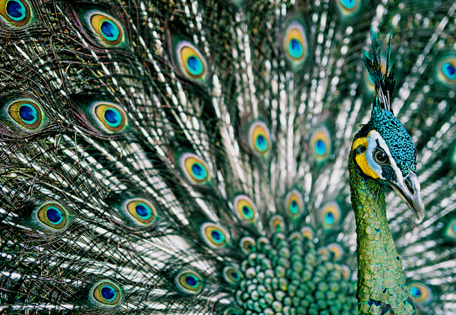 File:Green Peafowl, Hanoi.jpg