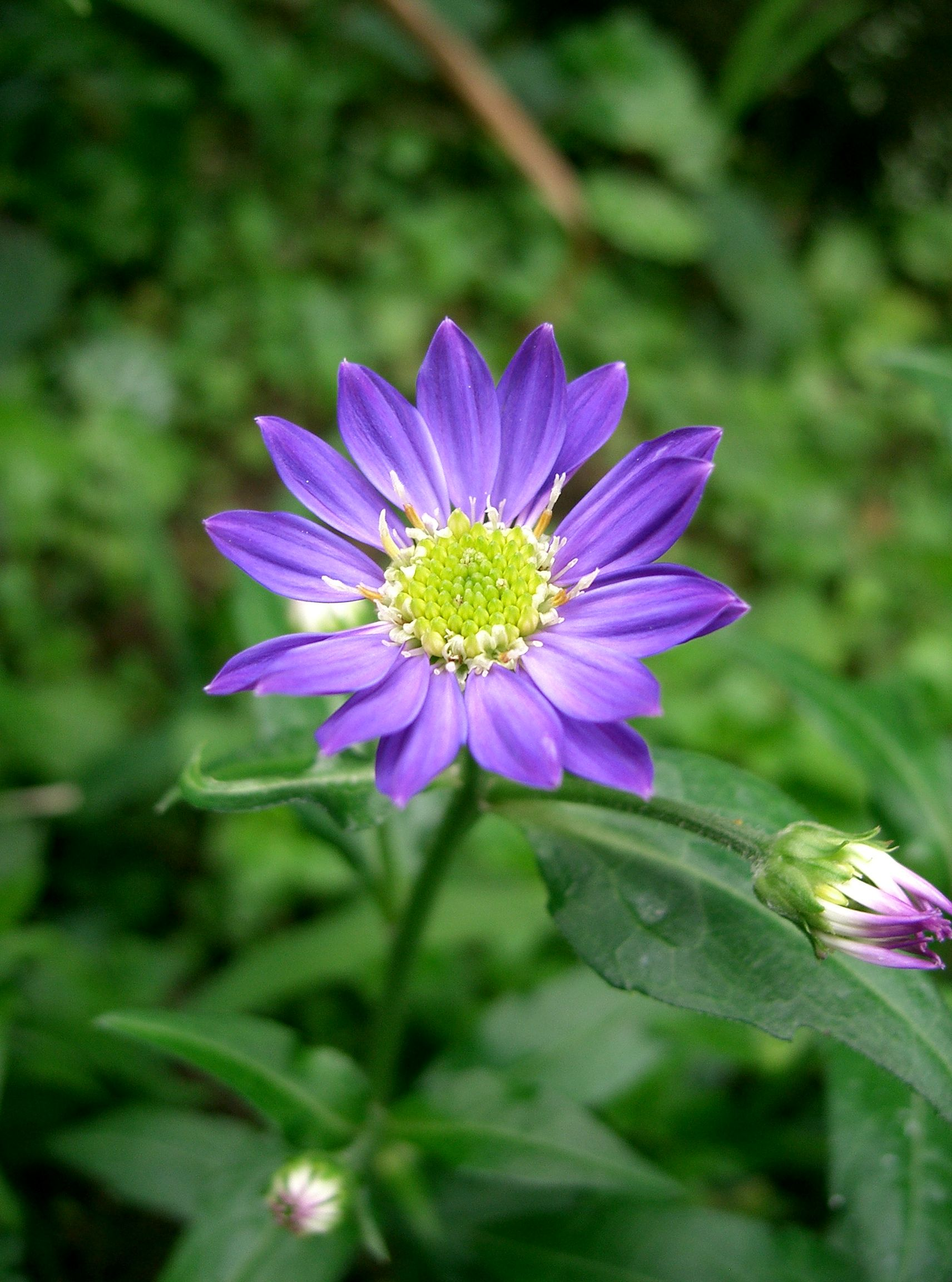 File Gymnaster savatieri1 flower Wikimedia mons
