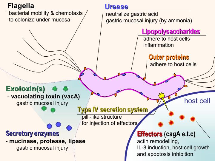 File:H pylori virulence factors en.png