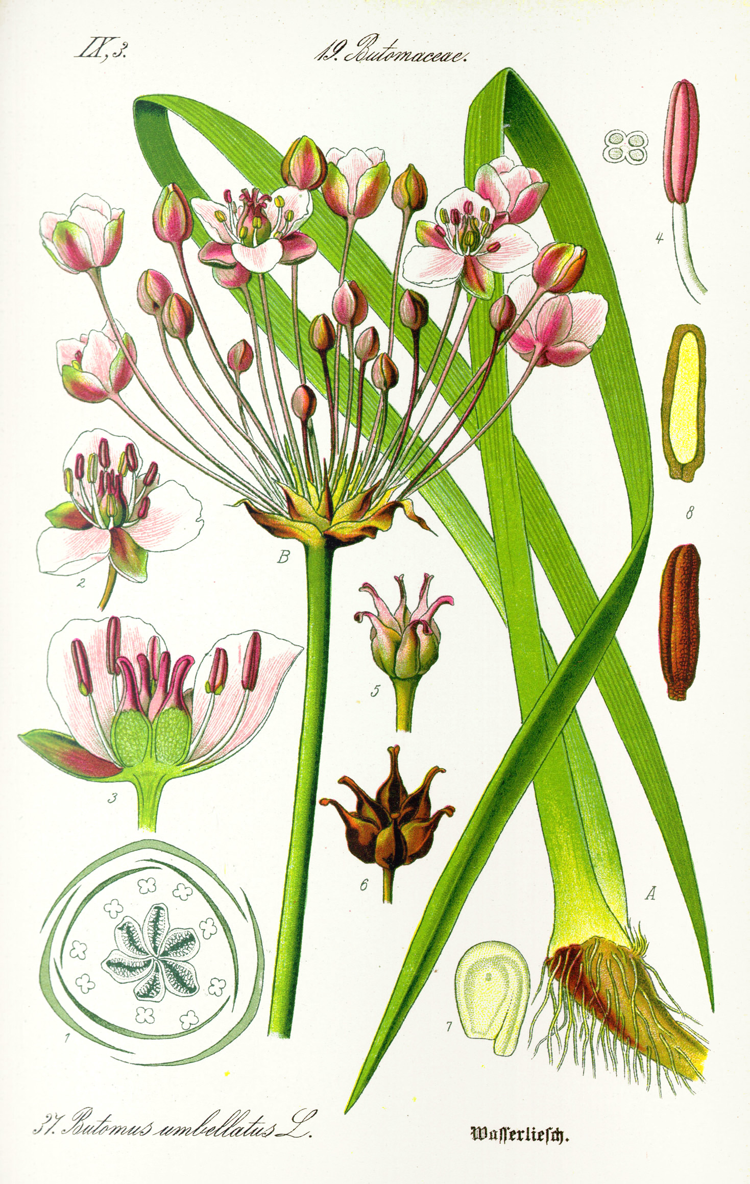 Illustration_Butomus_umbellatus1.jpg?uselang=nb