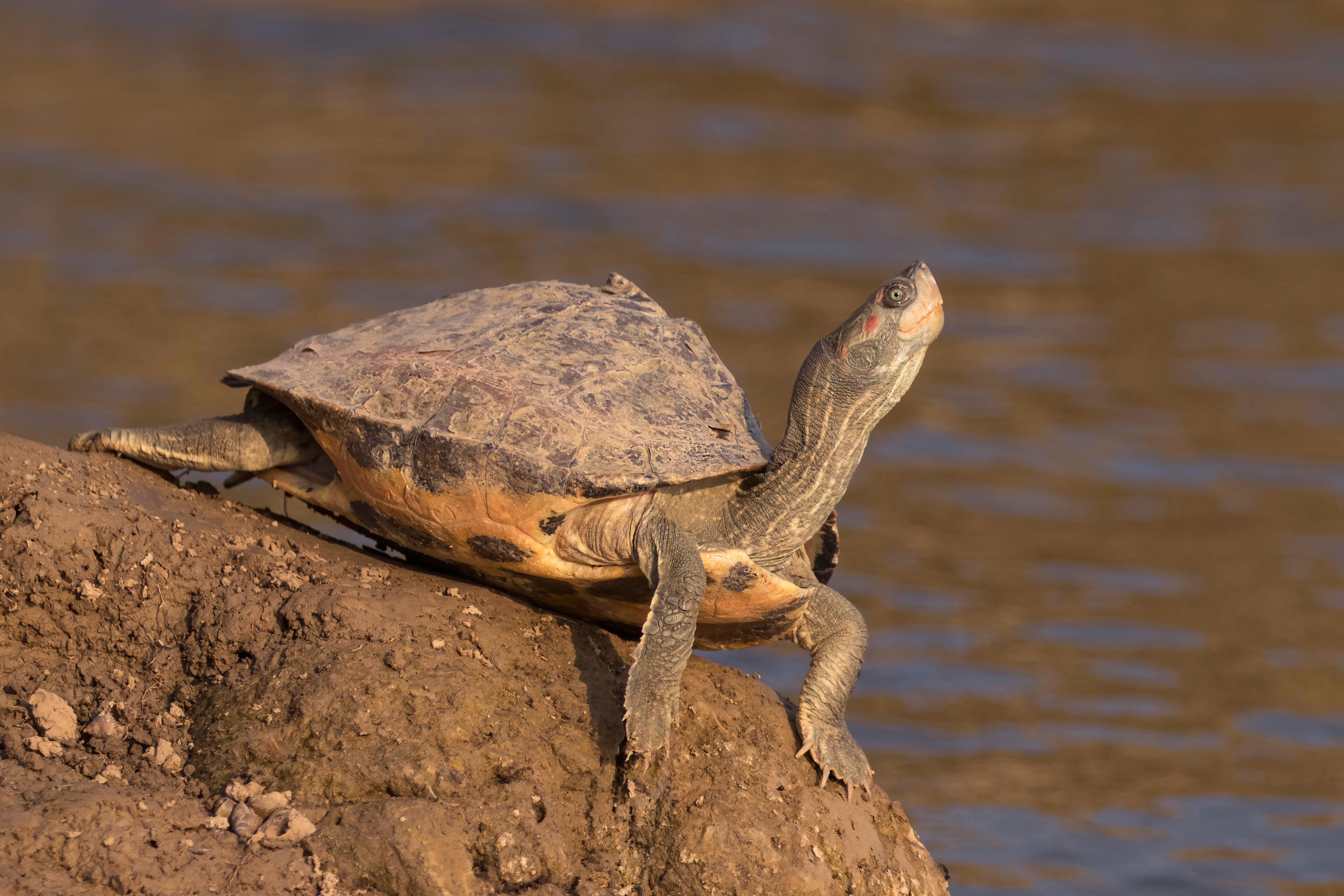 Indian tent turtle & Indian tent turtle - Wikipedia
