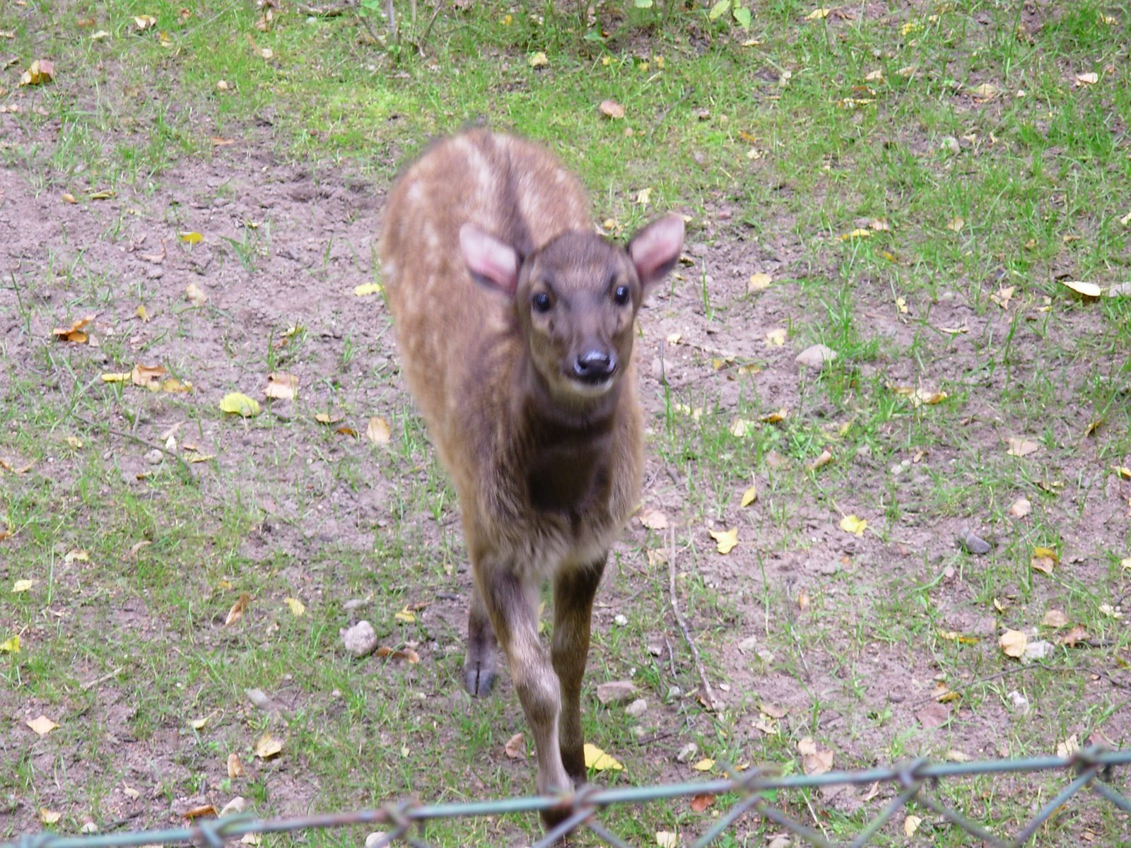 free downloading pics of baby philippine deer
