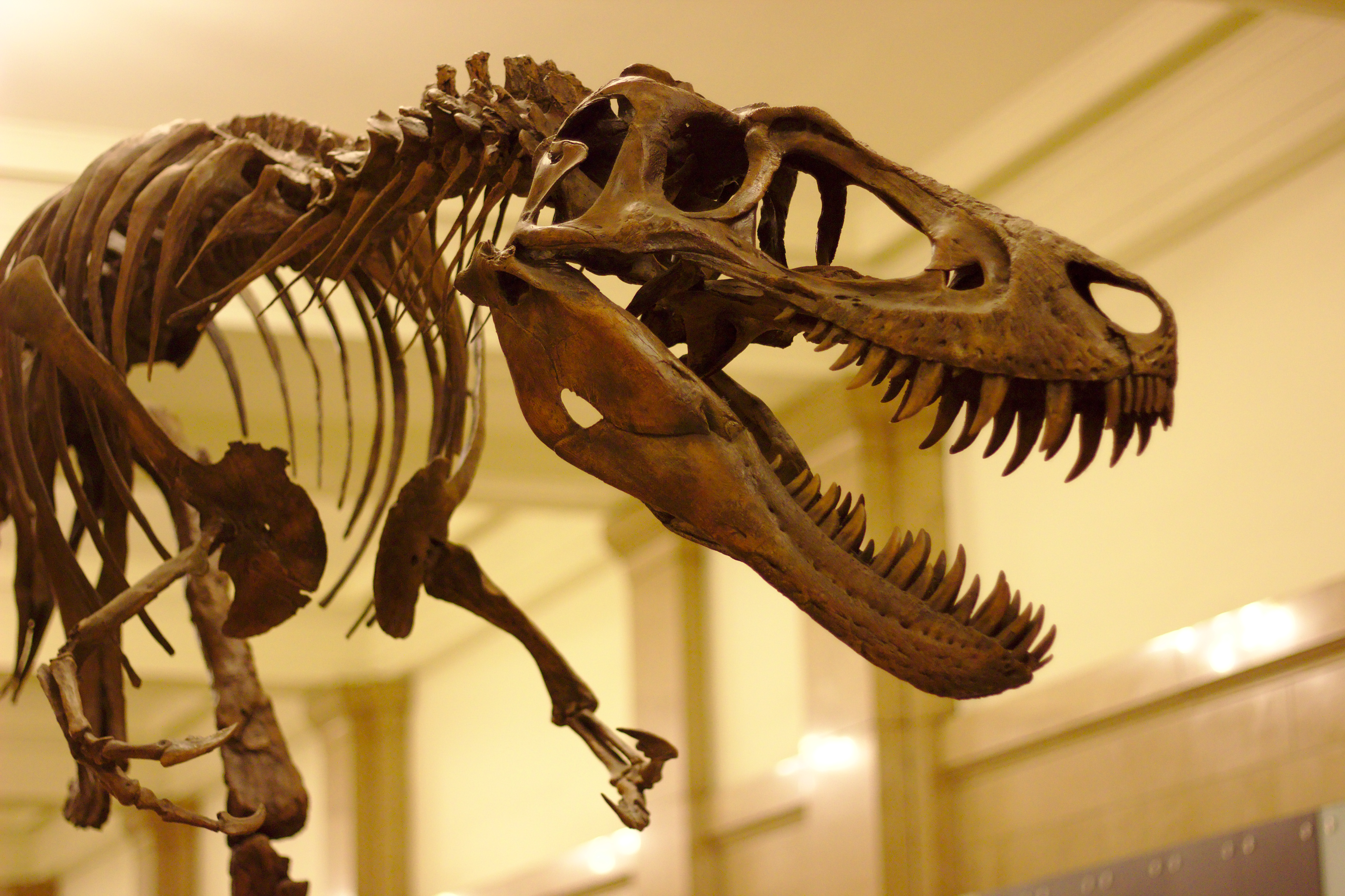 https://upload.wikimedia.org/wikipedia/commons/9/9a/Juvenile_T._Rex_at_Carnegie_Museum_of_Natural_History%2C_2013-12-14.jpg