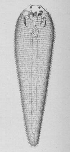 File:Linguatula taenioides.jpg