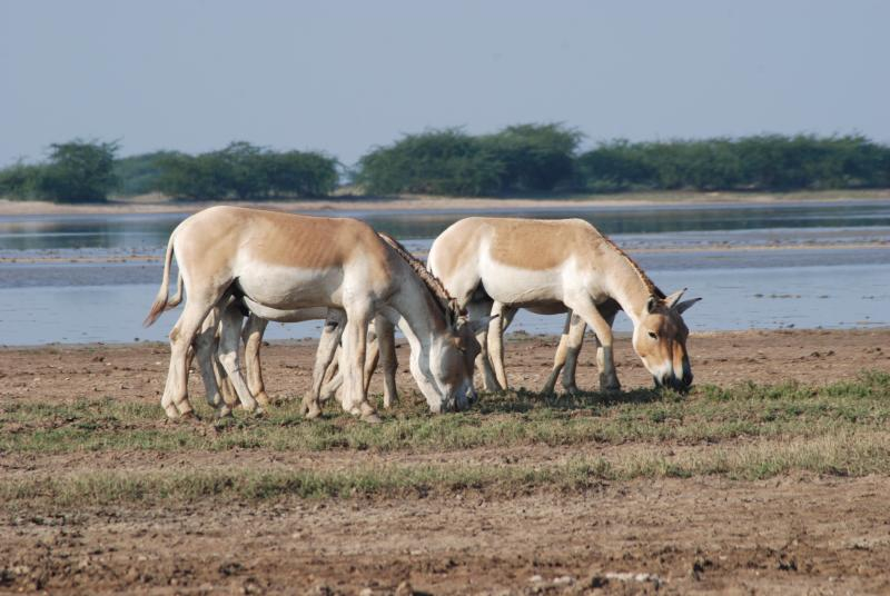 The Little Rann of Kutch is known for the wild ass sanctuary and high salt production. Source: Chandra/Wikicommons