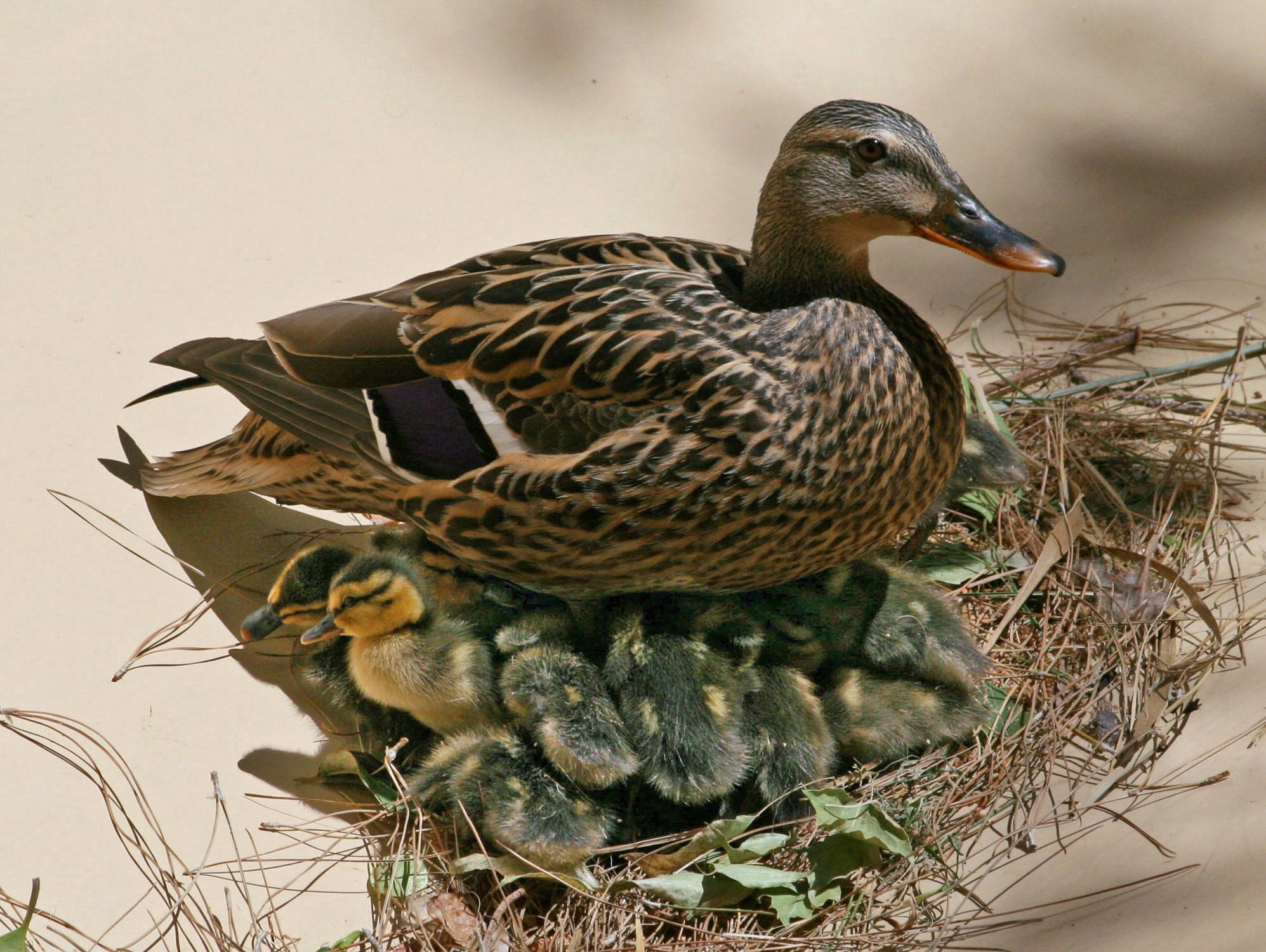 Image Gallery Mallard Nest