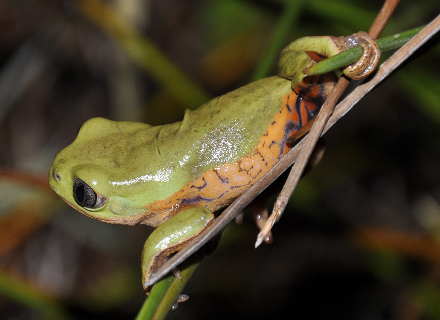 Pithecopus rusticus - Wikipedia, la enciclopedia libre