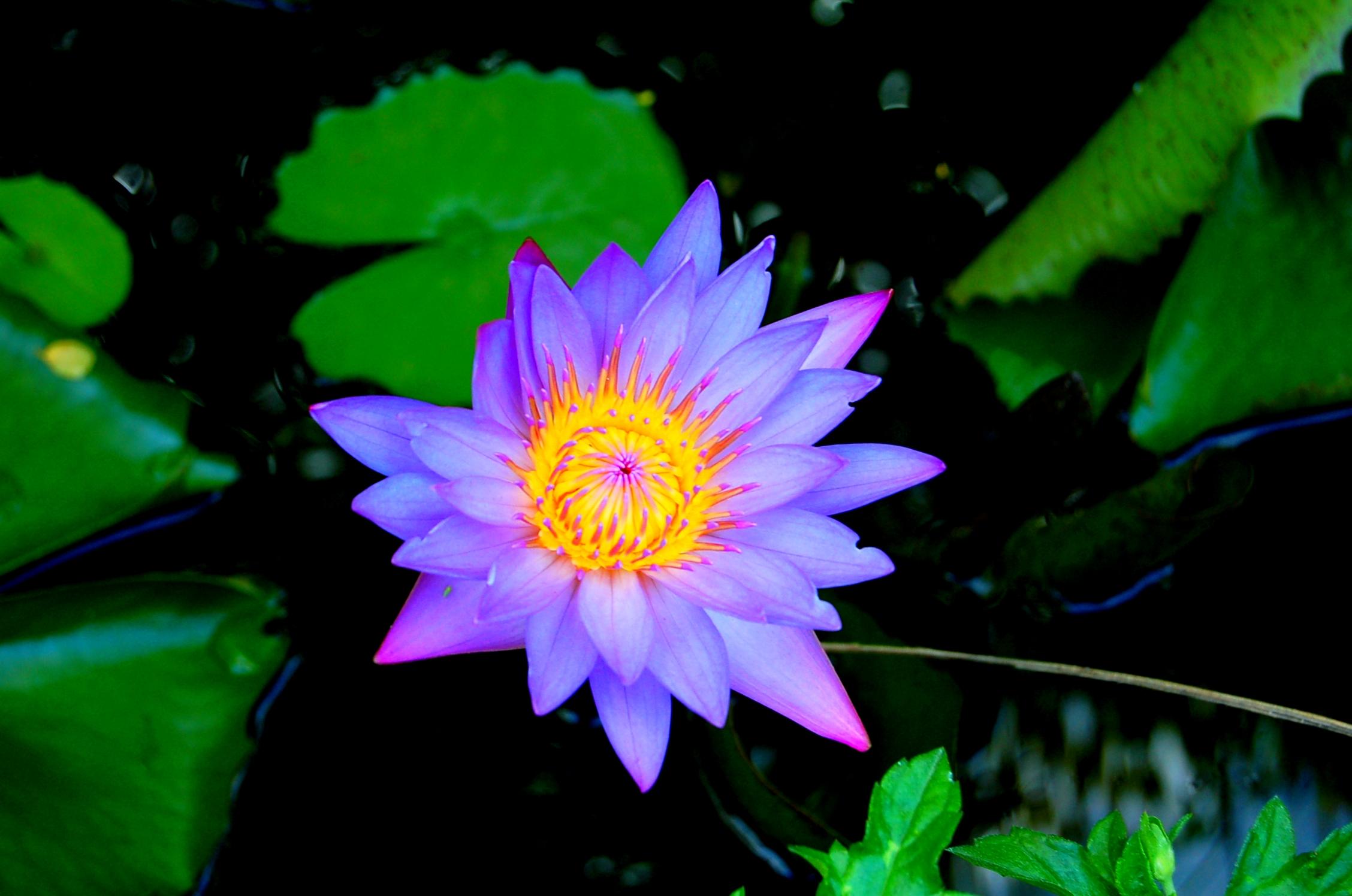 VƯỜN CÂY HOA ĐV I Nymphaea_stellata,_Myanmar