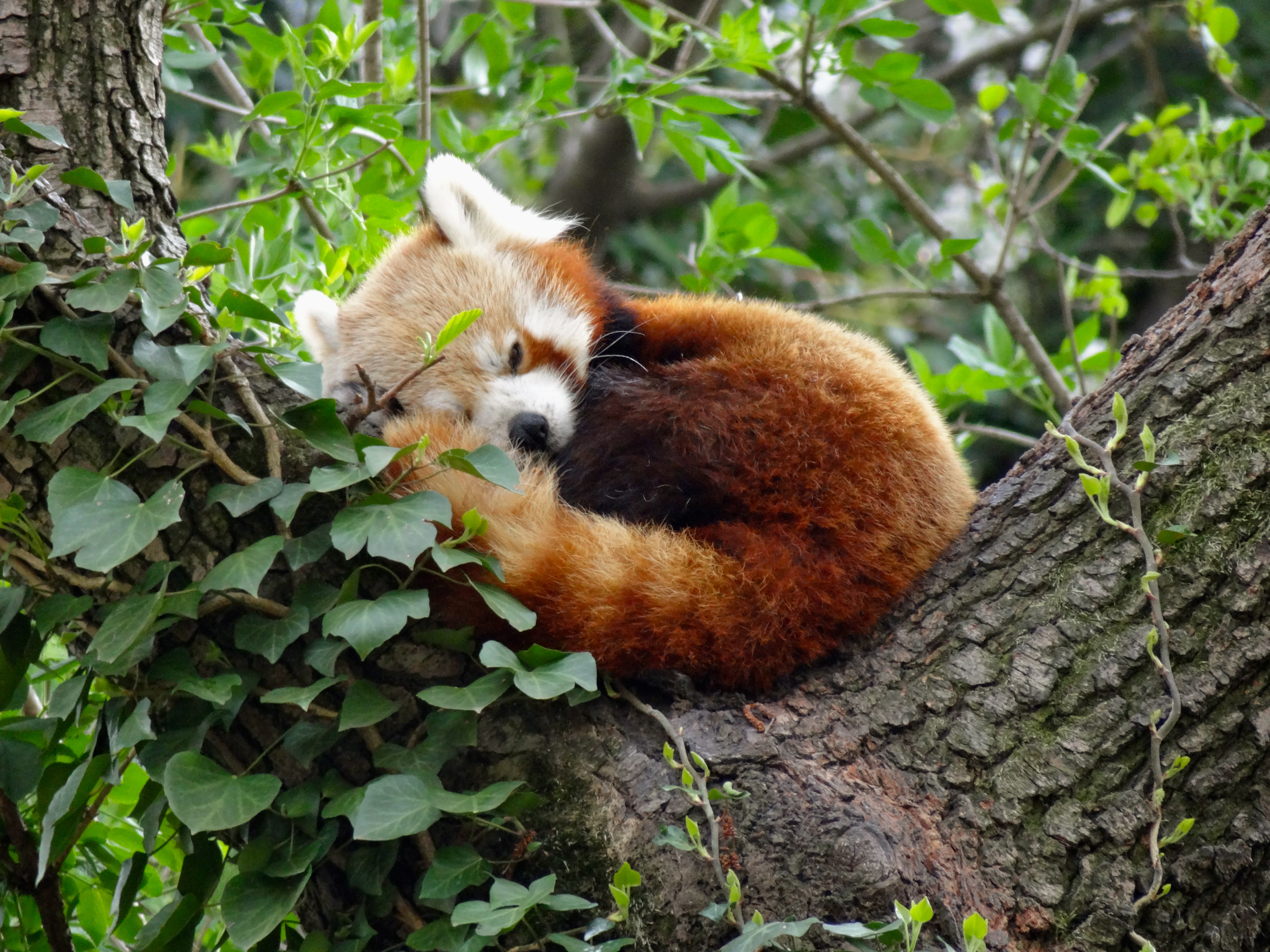 Red of pandas pictures