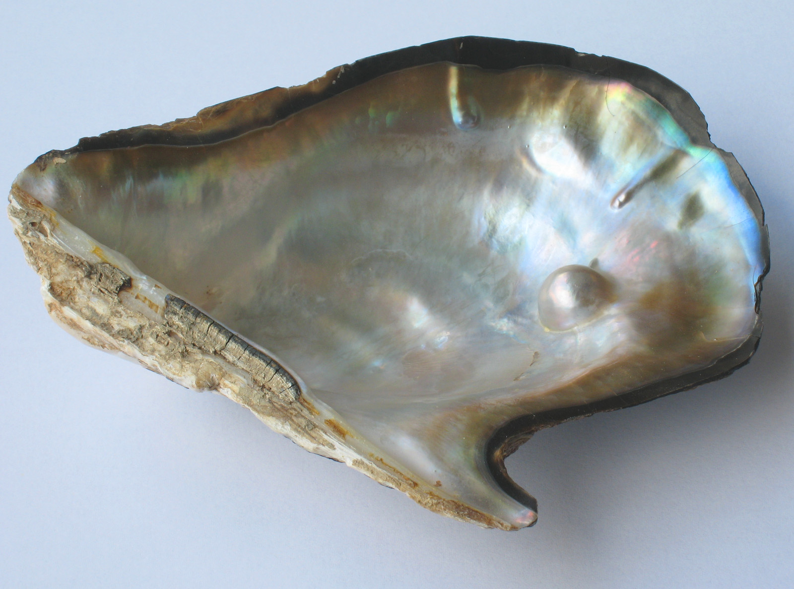 File:Pearl oyster.jpg - Wikipedia, the free encyclopedia