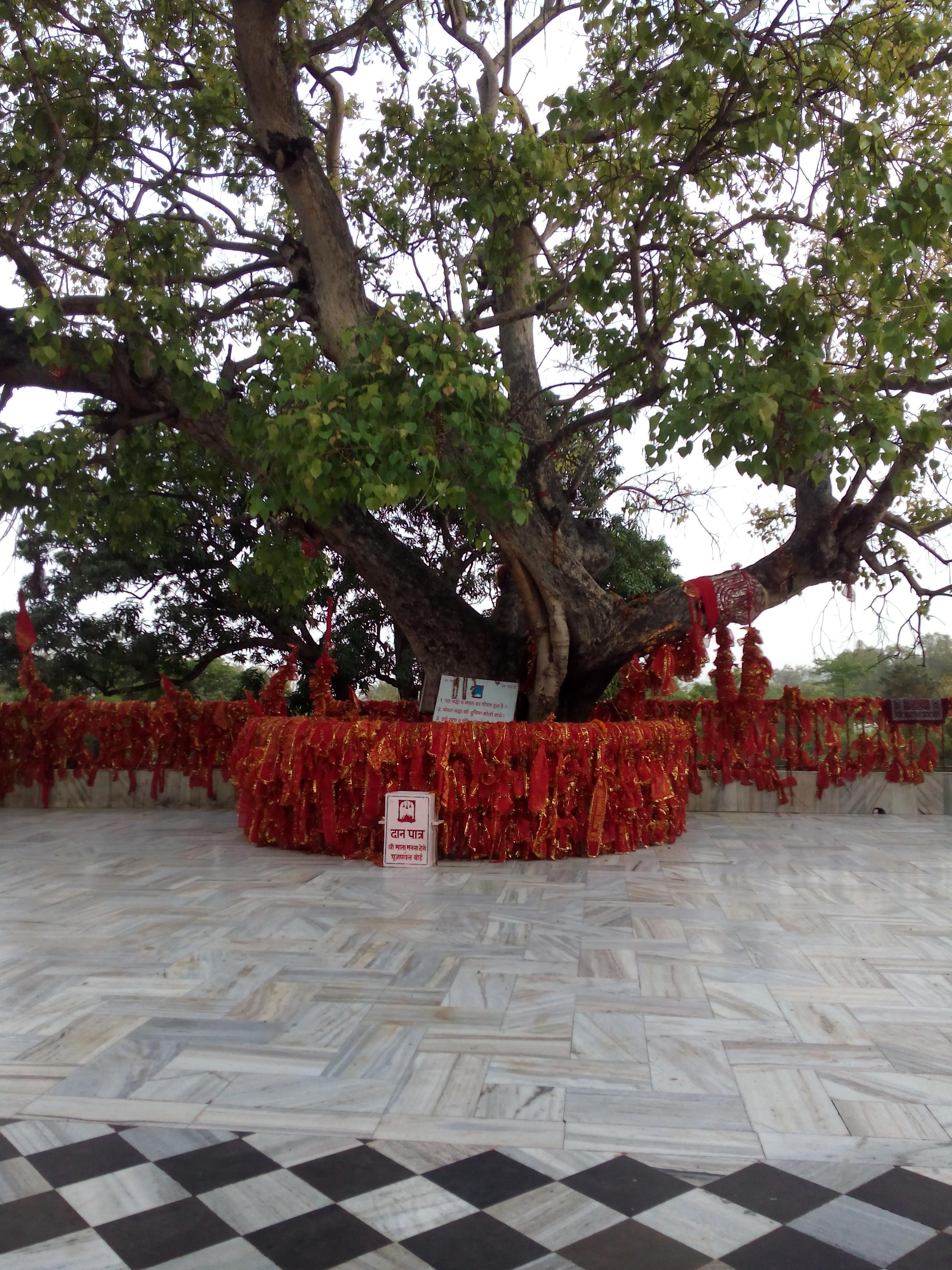 peepal tree uses in english
