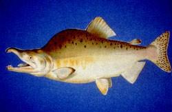 Datei:Pink salmon.jpg