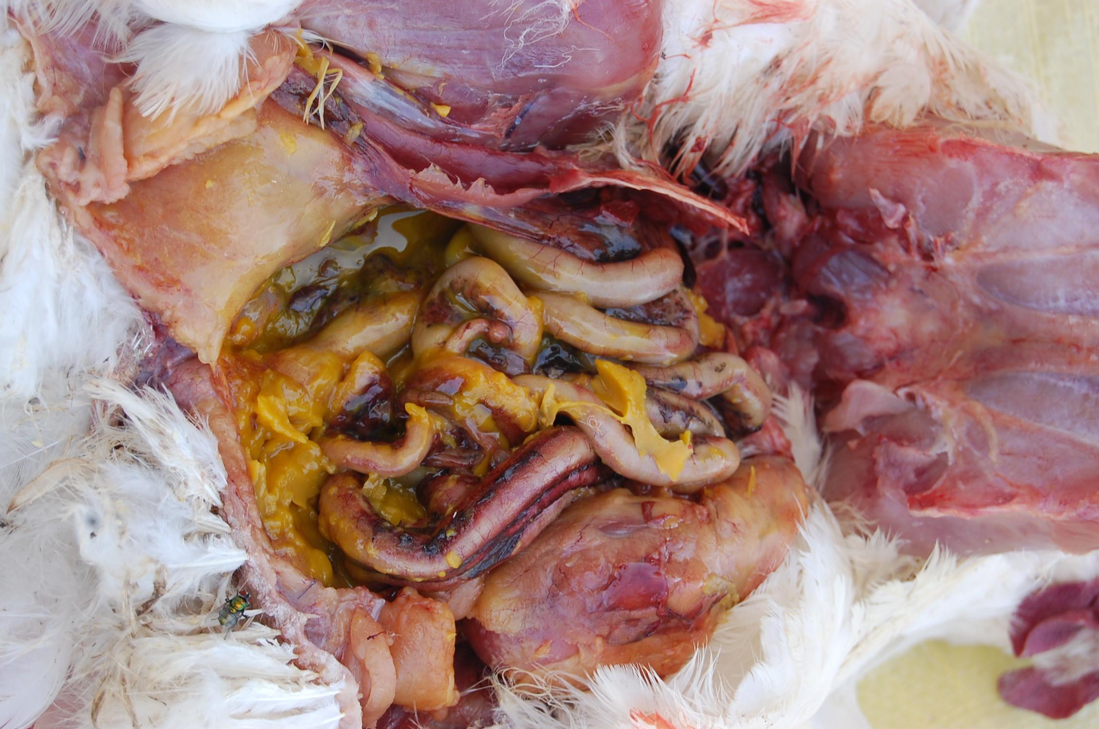 žloutková peritonitida