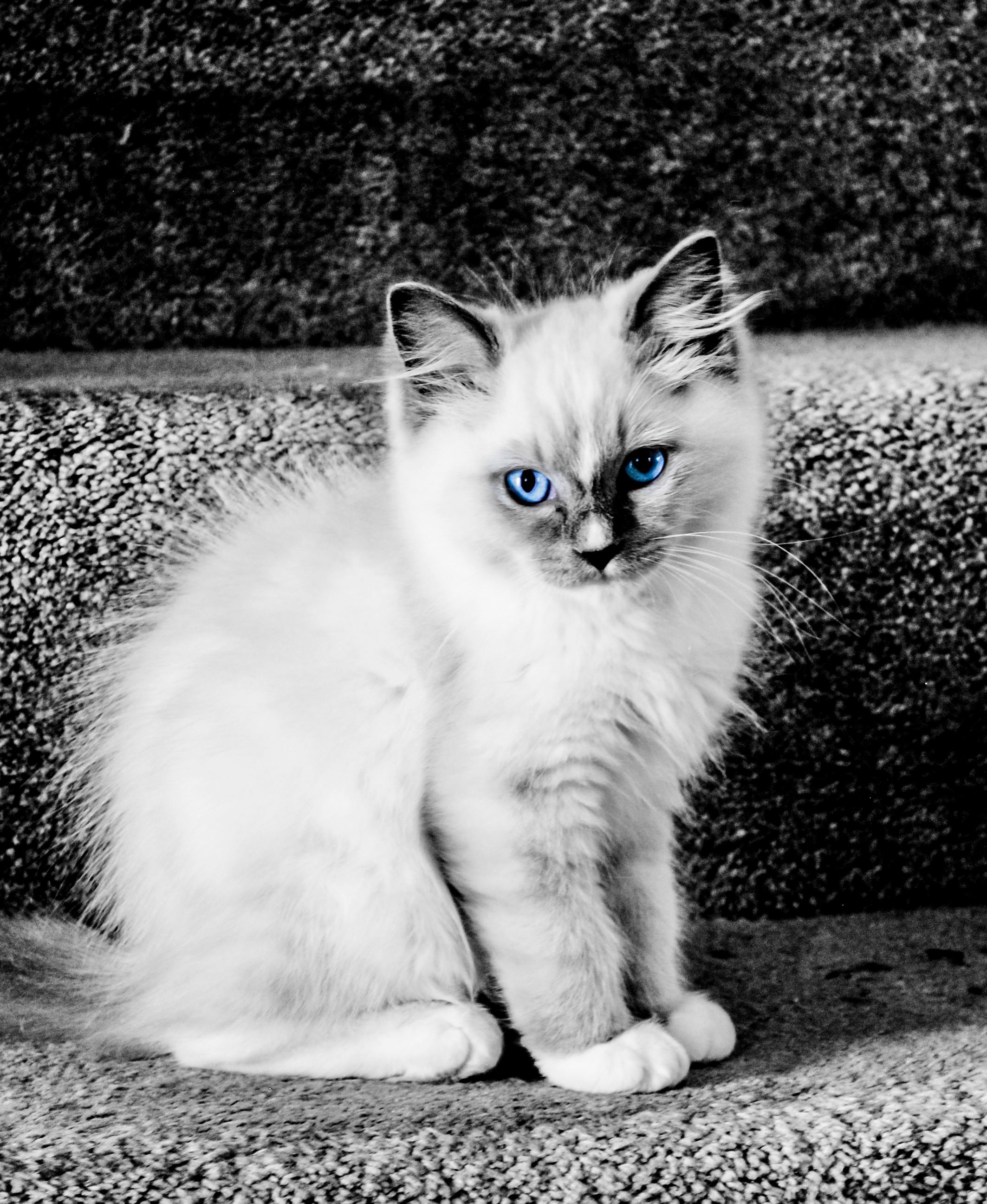 File Ragdoll Kitten With Blue Eyes Dmno 28 Jpg Wikimedia Commons
