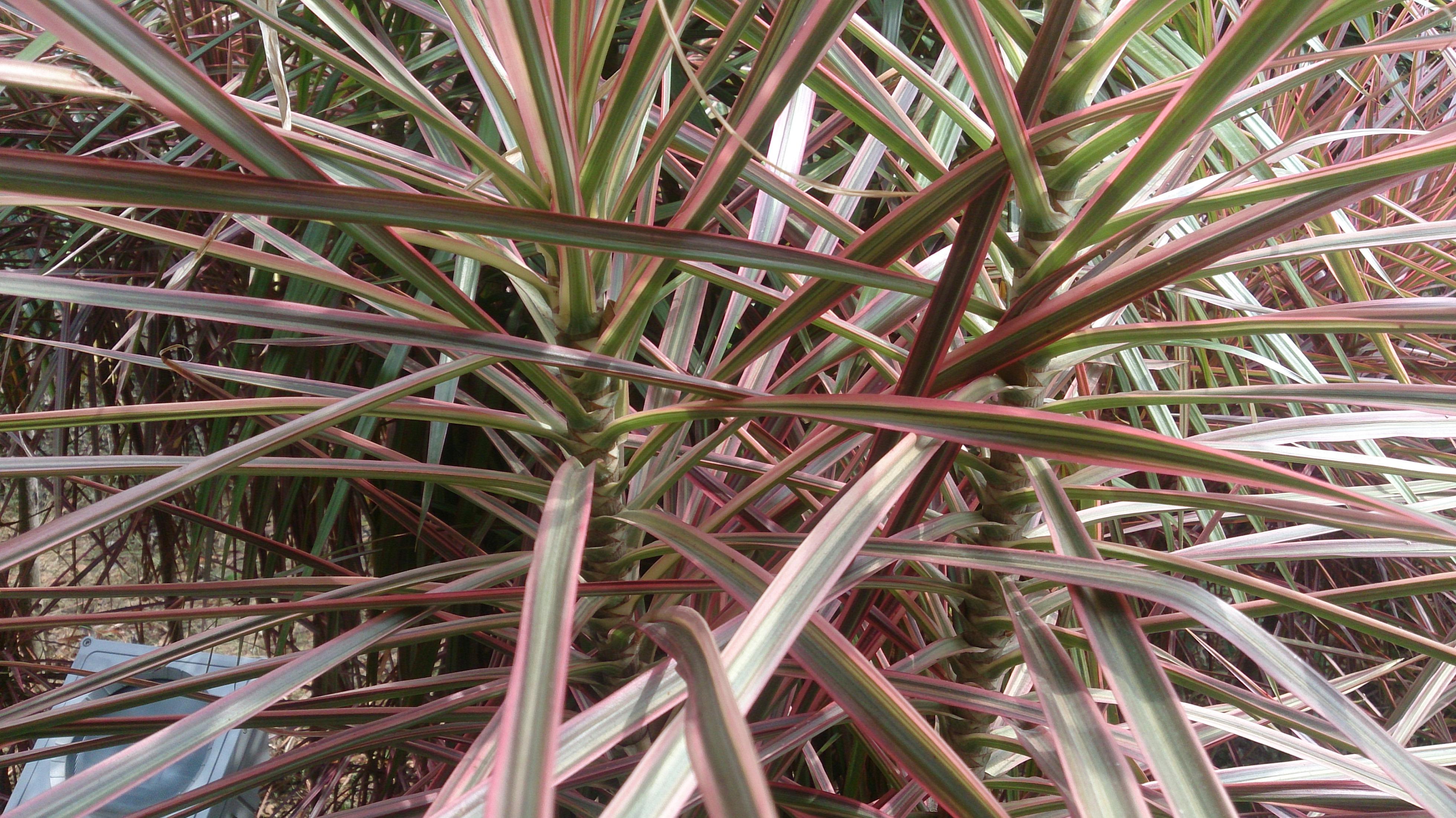 How to Take Care of Dracaena Massangeana Plants  Home