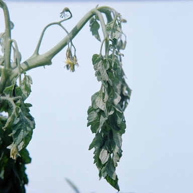 English: Photo of tomato plant with Ralstonia ...