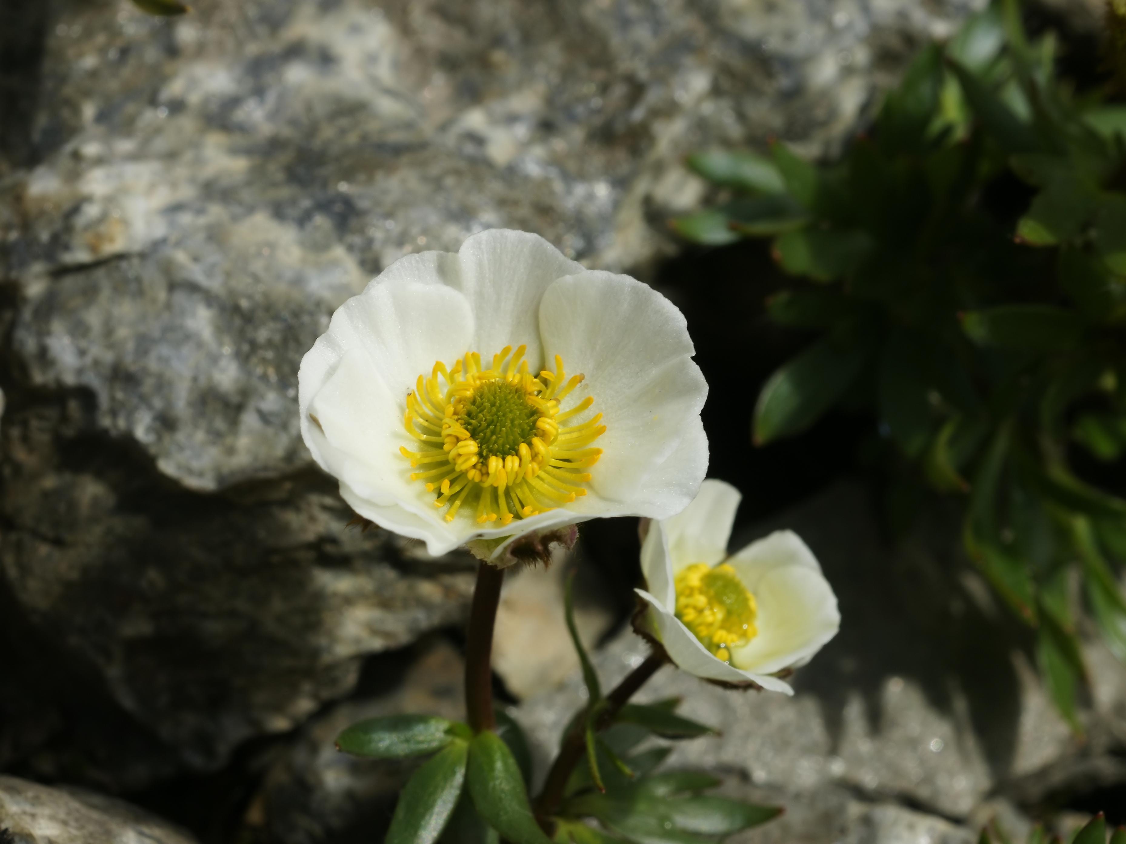 File Ranunculus glacialis flower Wikimedia mons