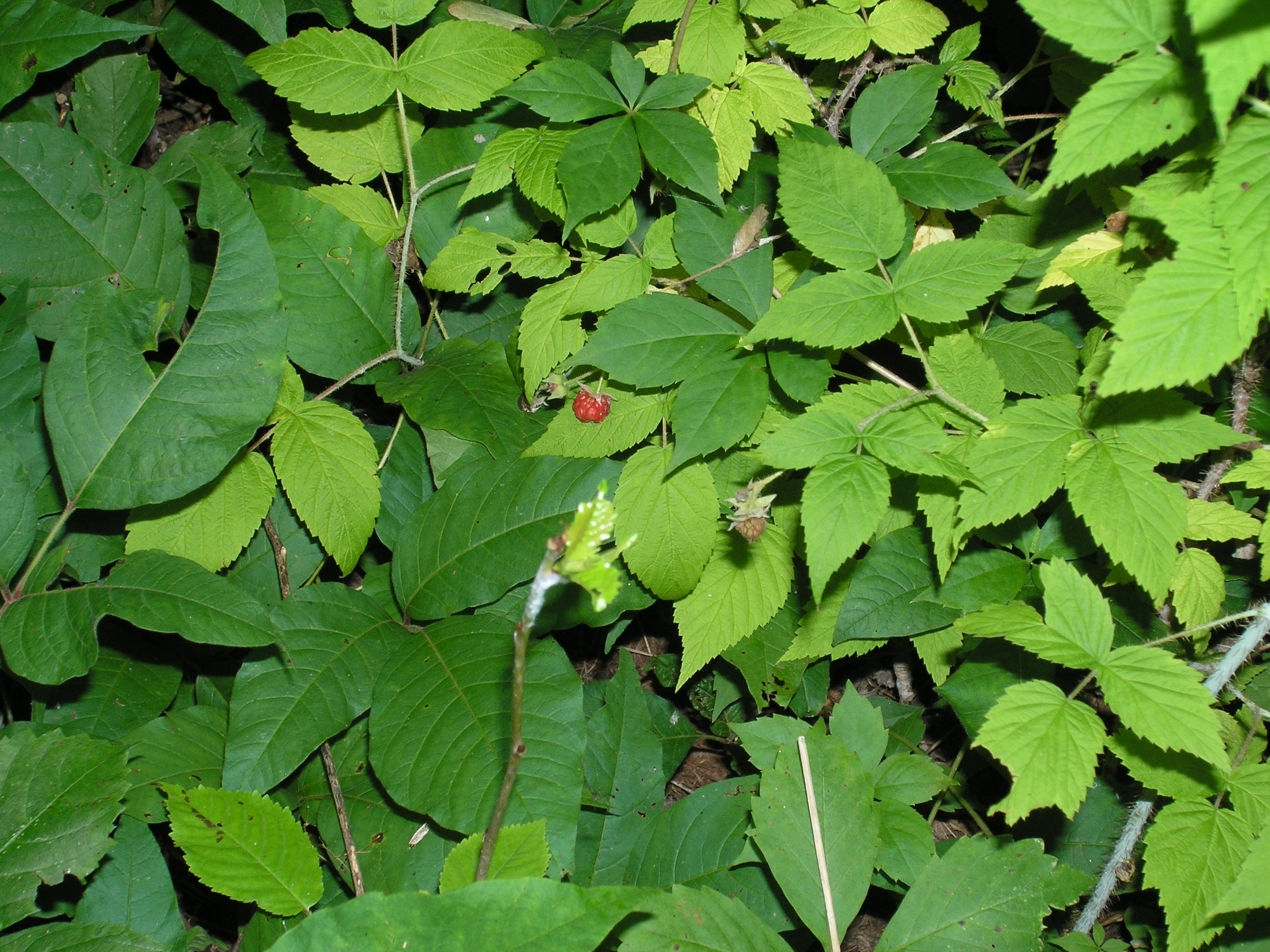 File:Raspberry And Poison Ivy Leaves.JPG - Wikimedia Commons on 5 leaf house plant, 3 leaf plant identification, 8 leaf house plant, 3 leaf outdoor plant,