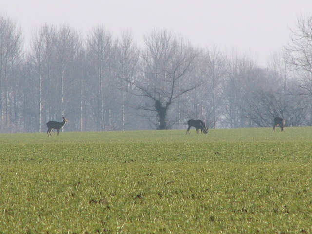 File:Roe deer feeding on arable land in High Suffolk - geograph.org.uk - 310574.jpg