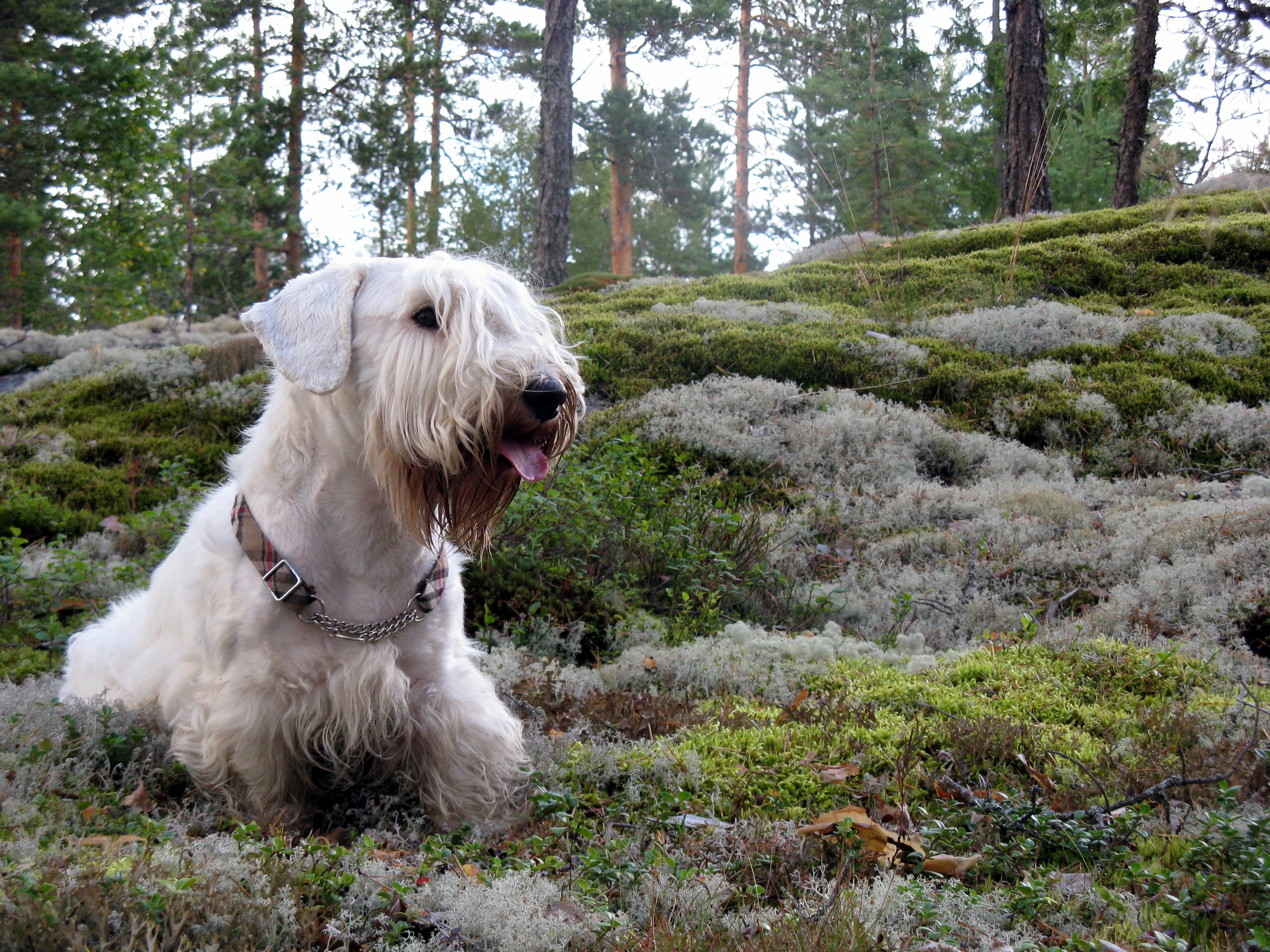 Sealyham Terrier Dog Wallpaper