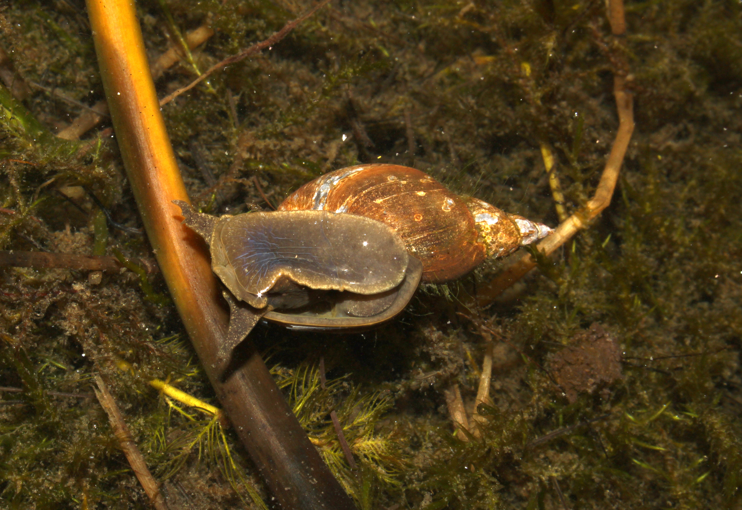 Great pond snail (gliding at the water surface), Lymnaea stagnalis By ...