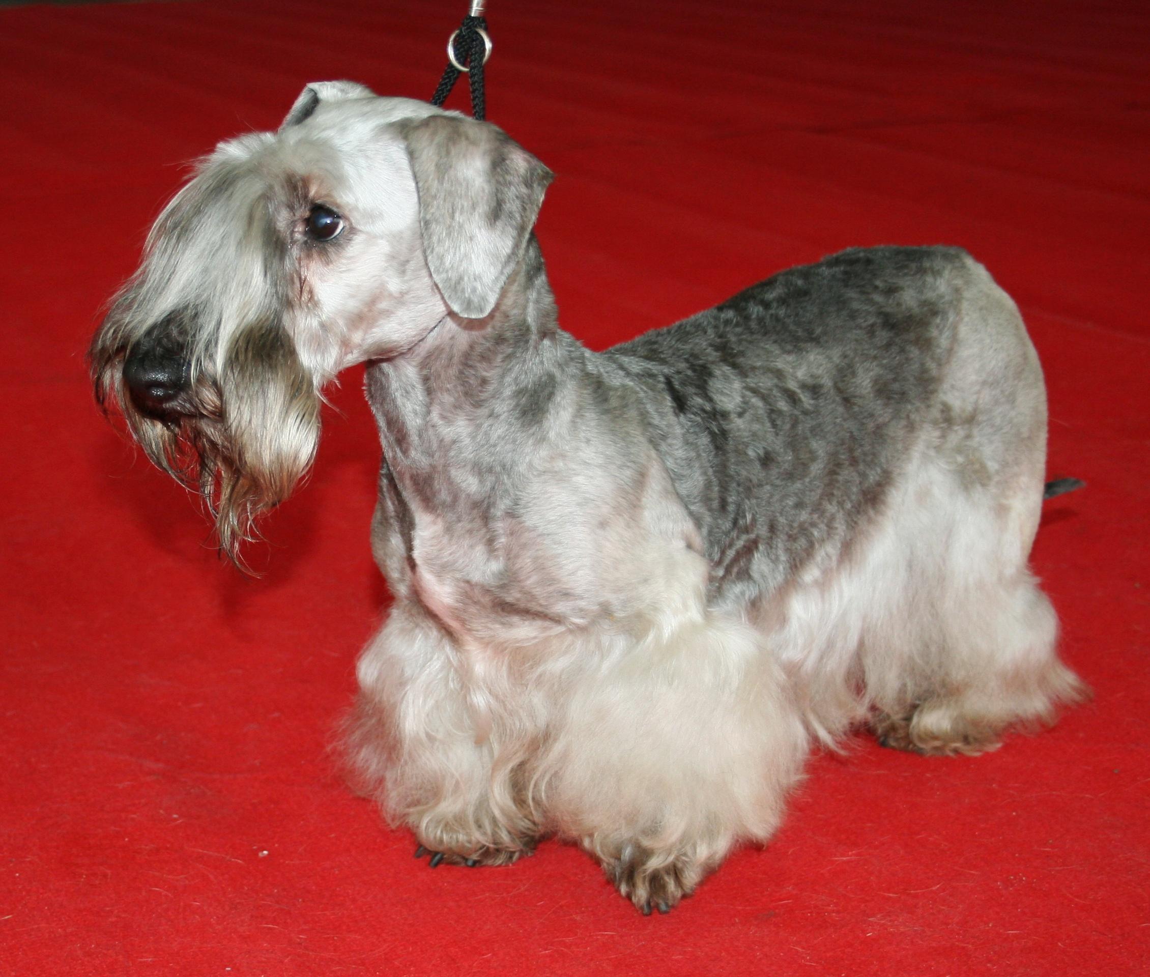 Cesky Terrier - Wikipedia