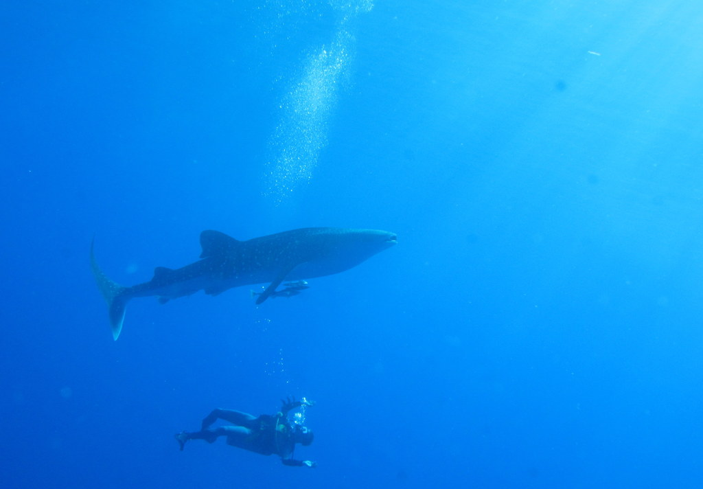 Divers guide to Seychelles - Whale Sharks