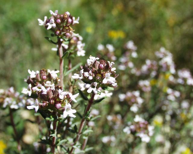 Fichier:Thymus vulgaris3.jpg