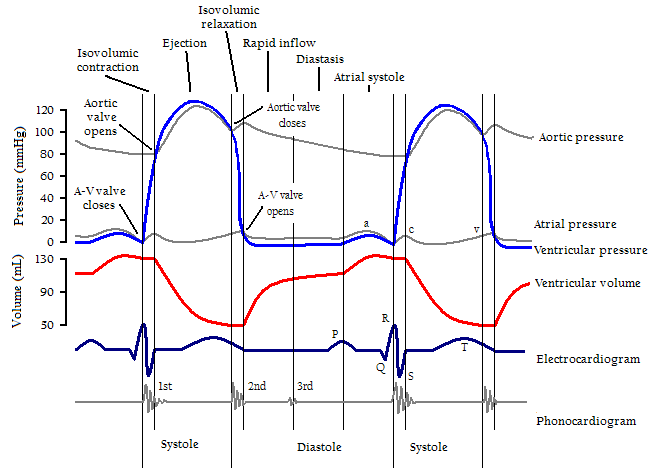 cardiac cycle - wikipedia, Muscles