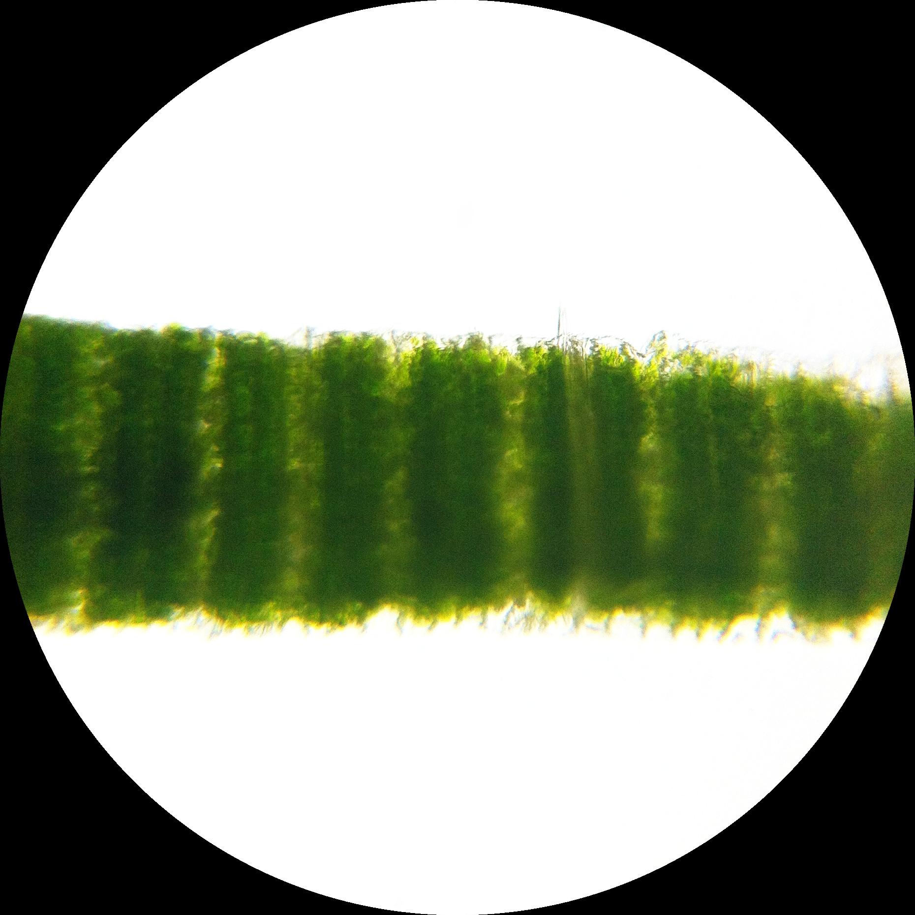 Filezea Mays Leaf Kranz Anatomy Longitudinal 200g Wikimedia