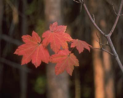 feuilles de l'erable a feuilles rondes en automne
