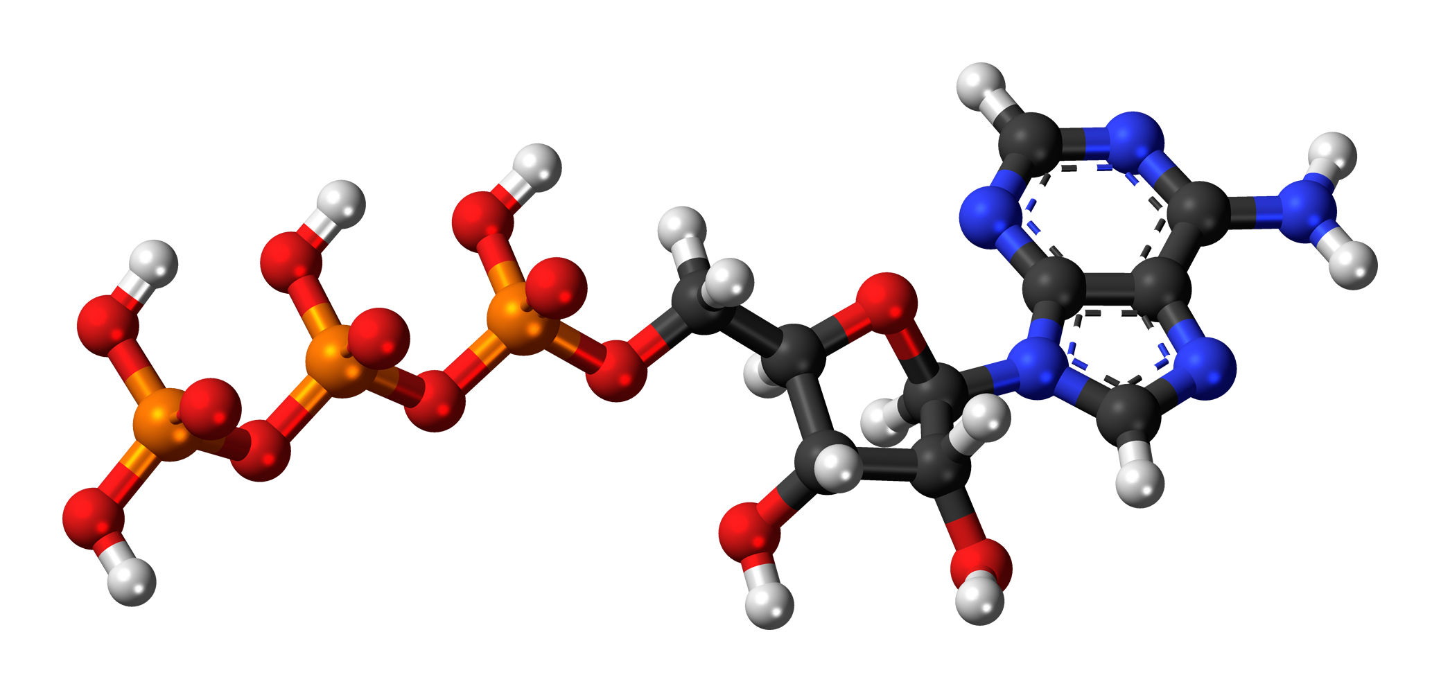 Model of adenosine triphosphate (ATP), which coenzyme Q10 and shilajit have been shown to increase.