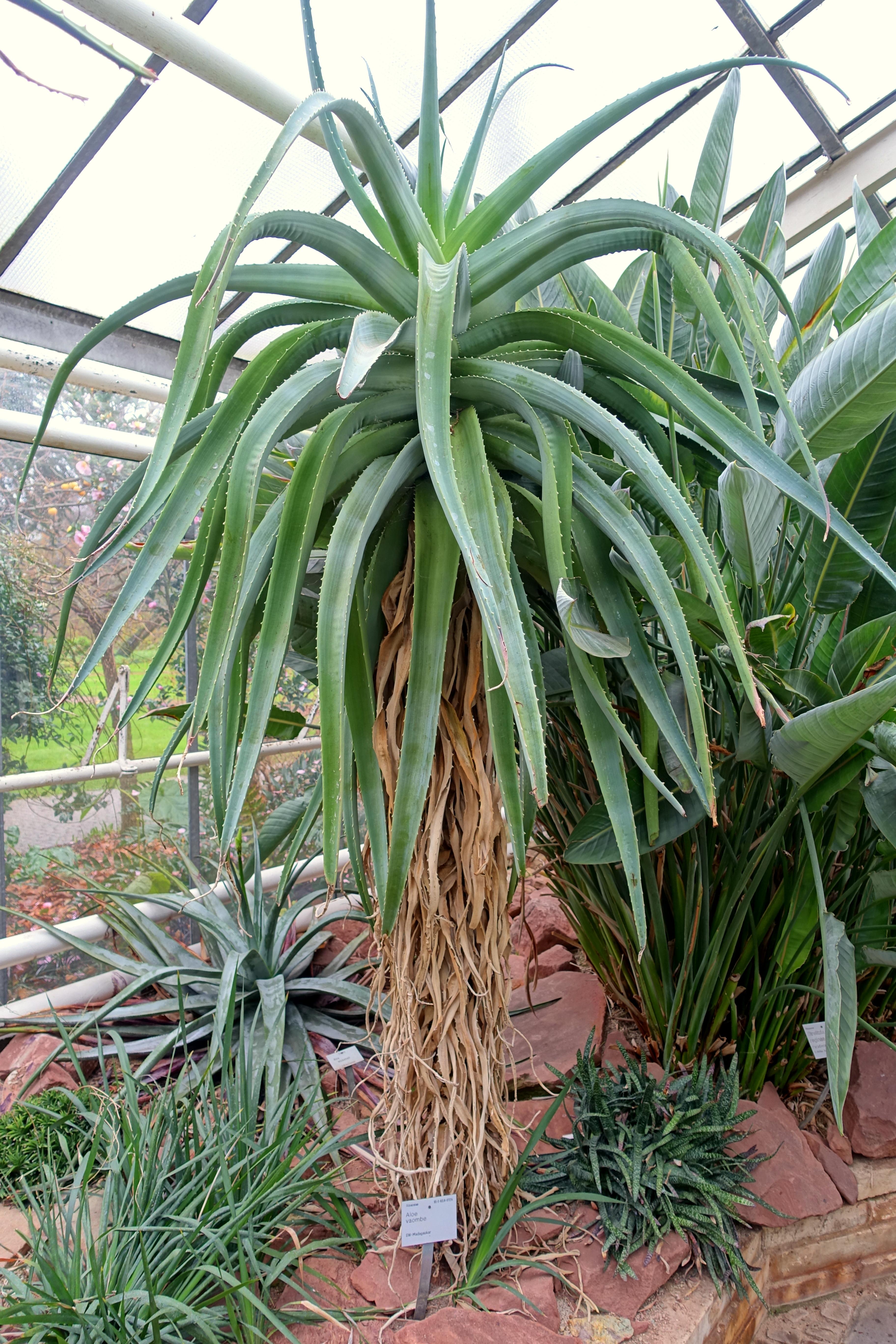 Aloe vaombe - Flora park - Cologne, Germany - DSC00771.jpg