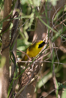 alt=Description de l'image Altamira Yellowthroat (Geothlypis flavovelata) male.jpg.