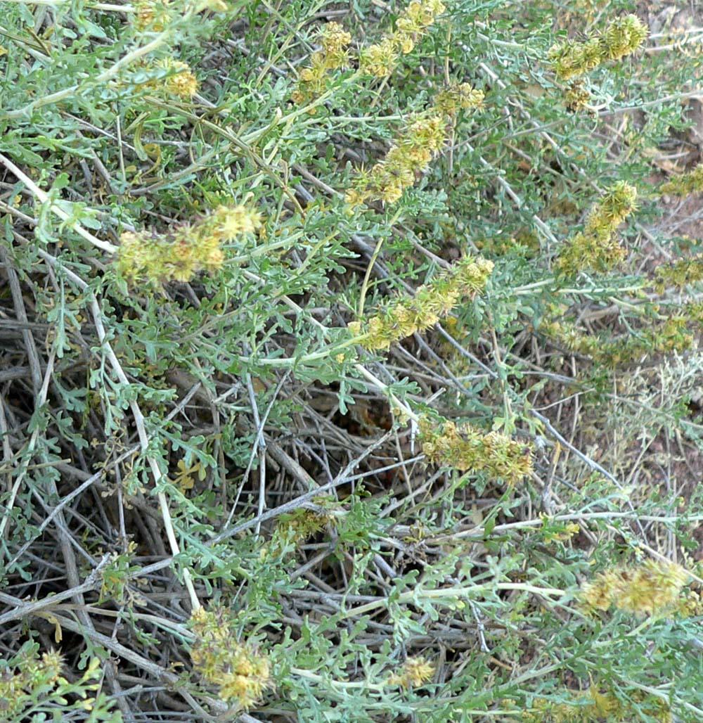 File:Ambrosia dumosa 2.jpg - Wikipedia, the free encyclopedia