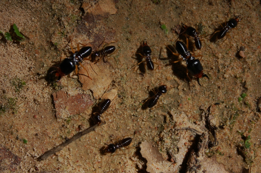 What color are termites