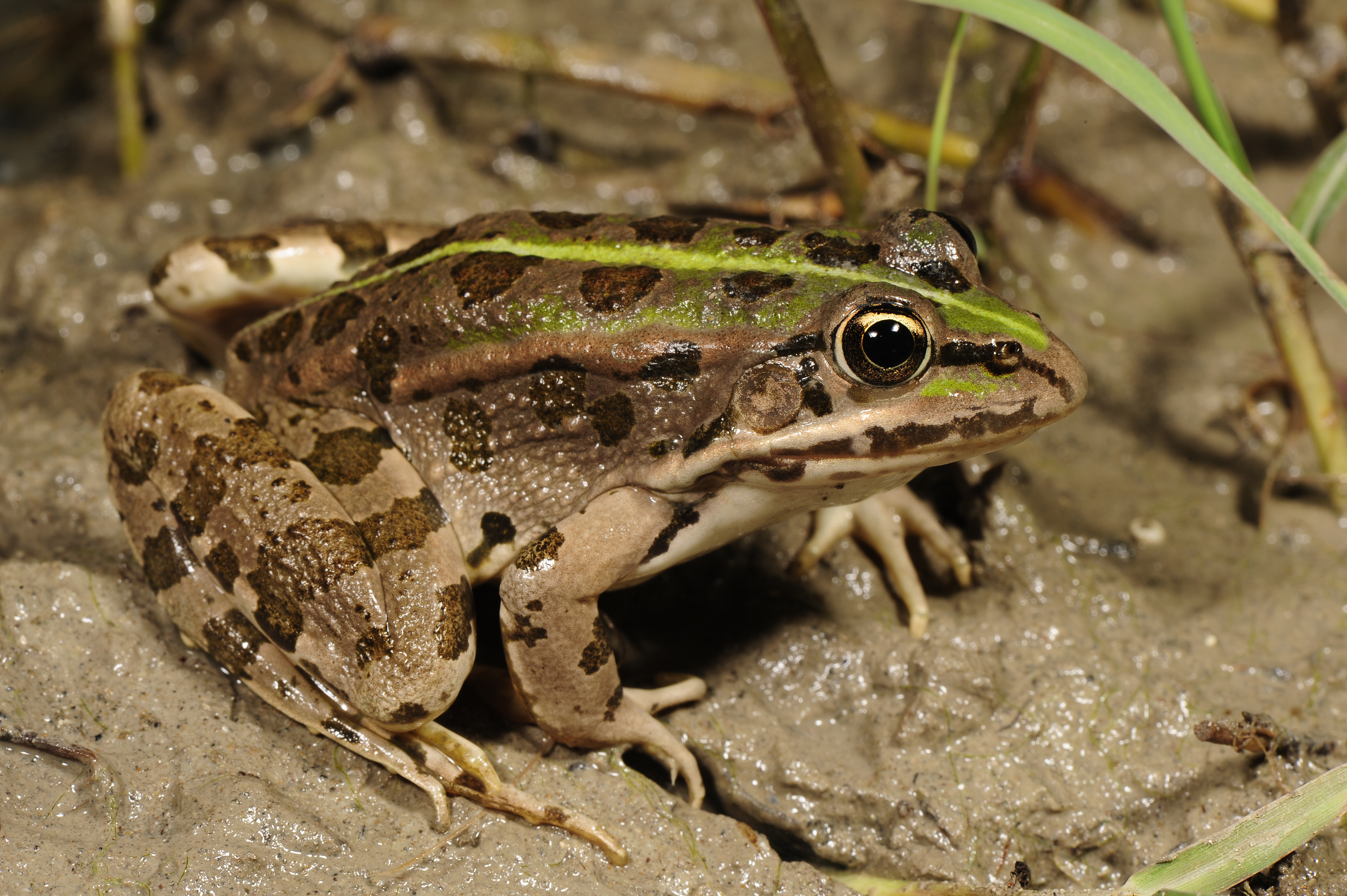 Depiction of Pelophylax epeiroticus
