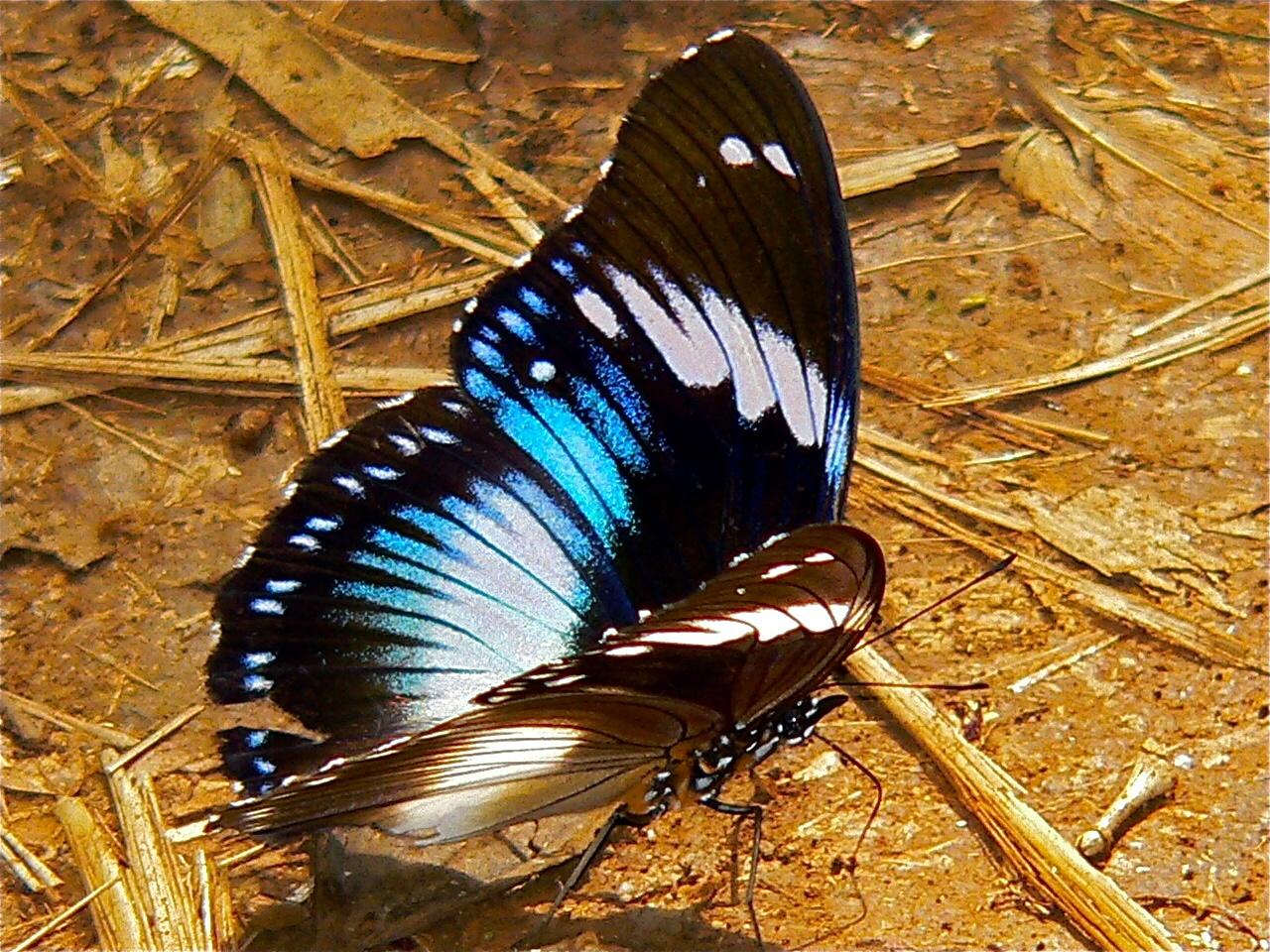 Bộ sưu tập cánh vẩy 6 - Page 14 Blue_Diadem_%28Hypolimnas_salmacis%29_%287700011516%29