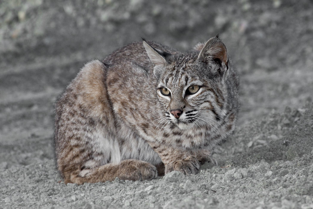 Cat With Bobcat Tick Fever Won T Eat Or Drink