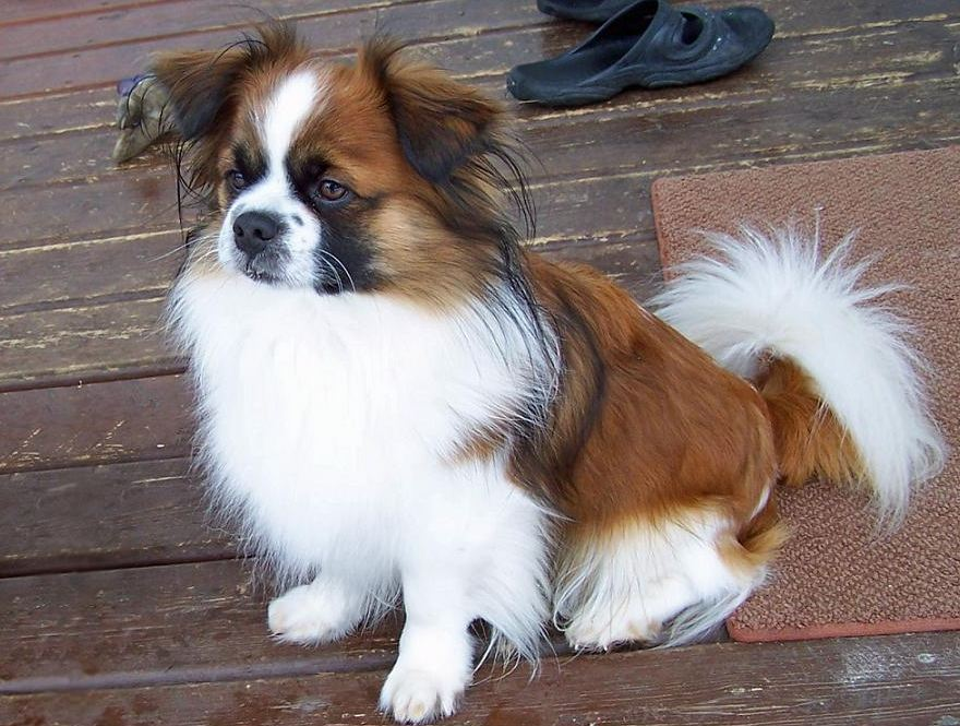 Small Non Shedding Cross Breed Dogs