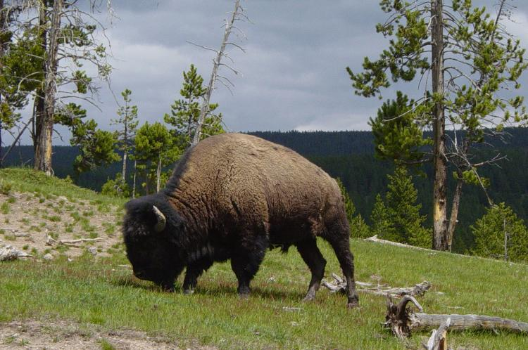 A Bison Eats American bison - Wikip...