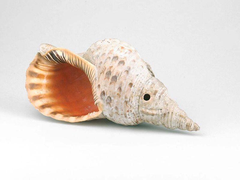 File collectie tropenmuseum schelphoorn tmnr 1083 for 1083 3
