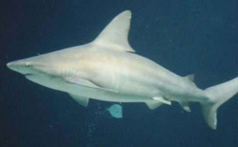 Brown or Sandbar Shark